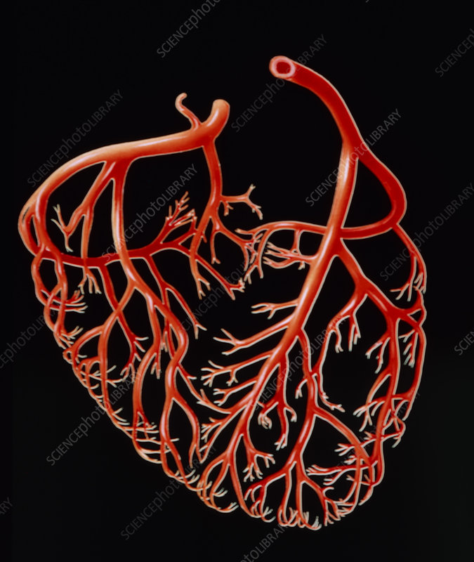 Illustration showing the major coronary arteries