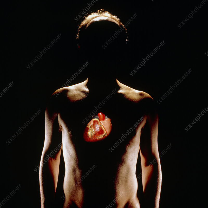 Model of heart superimposed over human figure