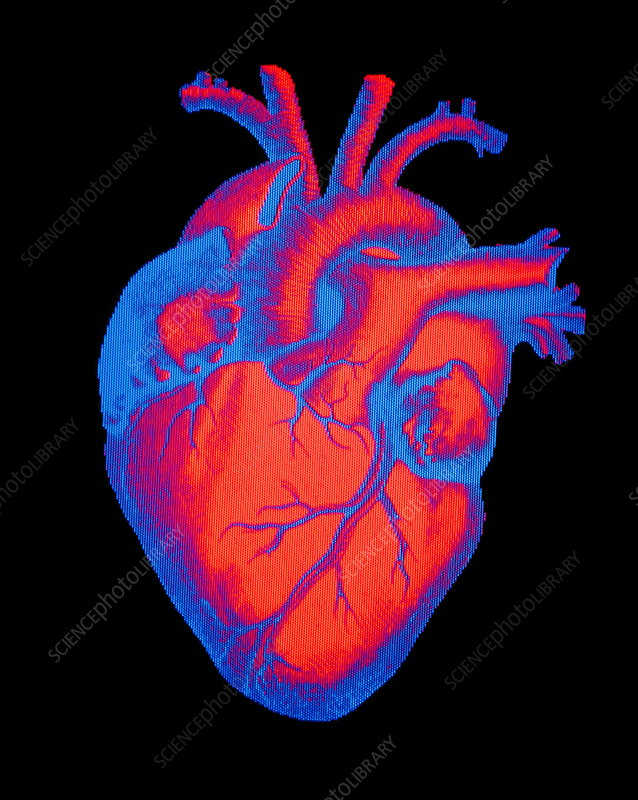 Digitised illustration of a healthy human heart