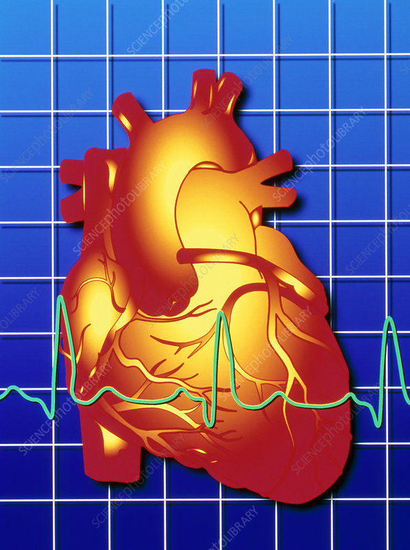 Computer artwork of ECG trace on a healthy heart