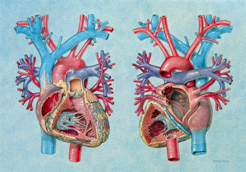 Artwork of human heart showing internal structures