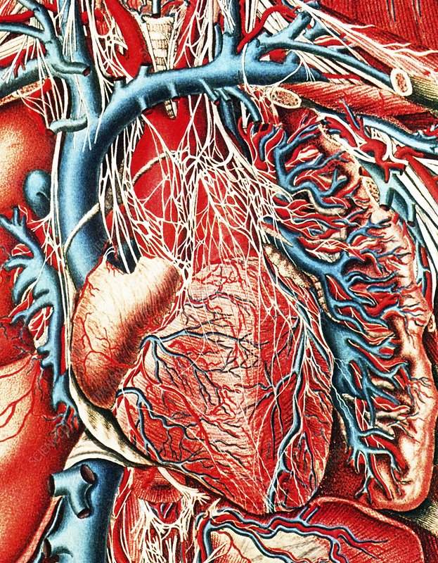 Mascagni artwork of human heart with its