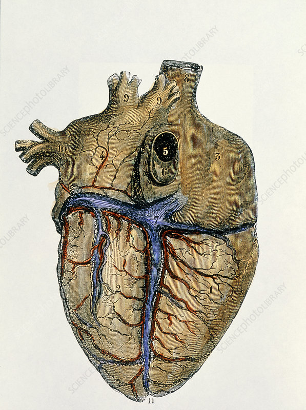 Coloured engraving of the heart & blood vessels