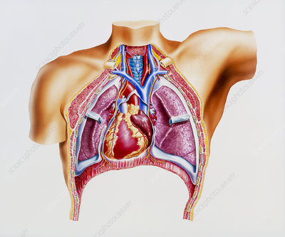 Artwork of the human heart and respiratory system