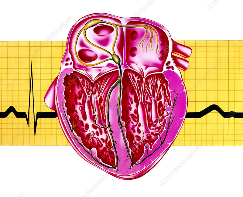 Artwork of sectioned heart with healthy ECG trace