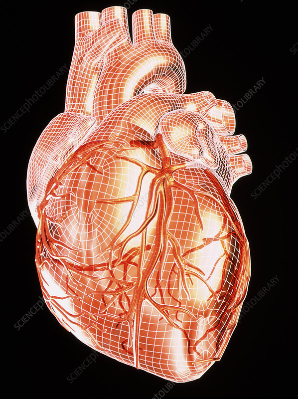 Computer artwork of a healthy human heart