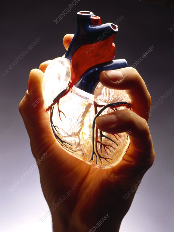 Hand holding a model of a healthy human heart