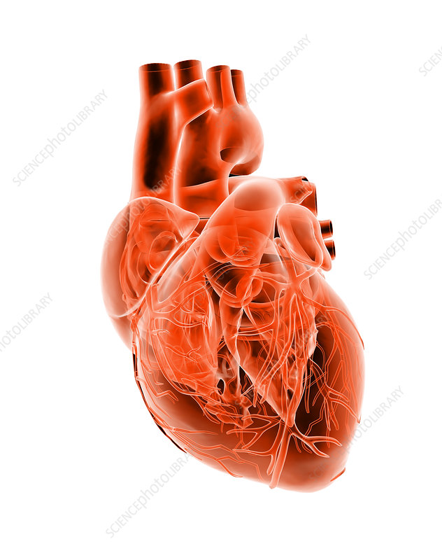 Computer artwork of the heart