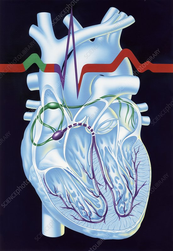 Electrical conduction in the heart, artwork