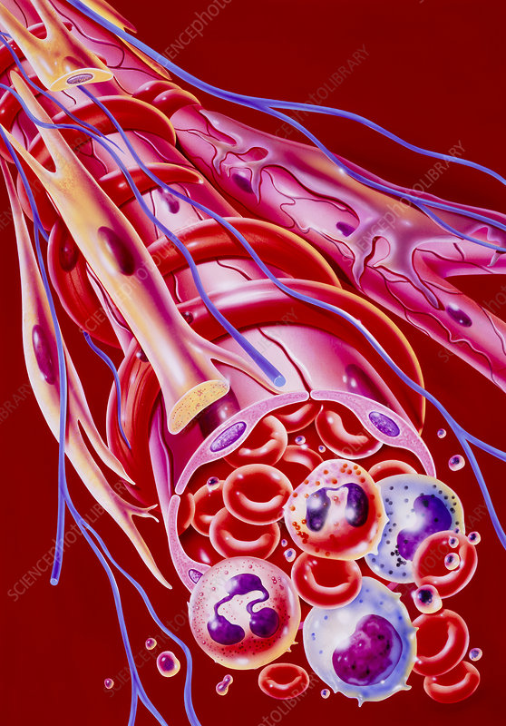 Illustration of blood cells within arteriole