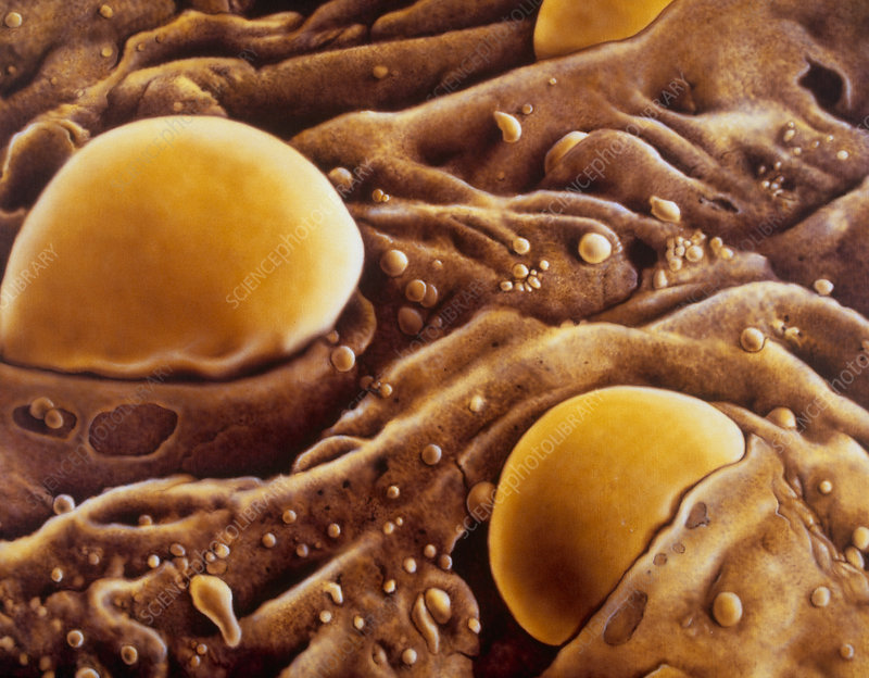 Artwork of blood cell development in bone marrow