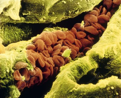 False-col SEM of blood cells in a blood capillary