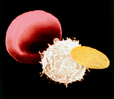 SEM of 3 types of cells found in human blood