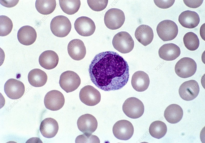 Lm of human blood cells