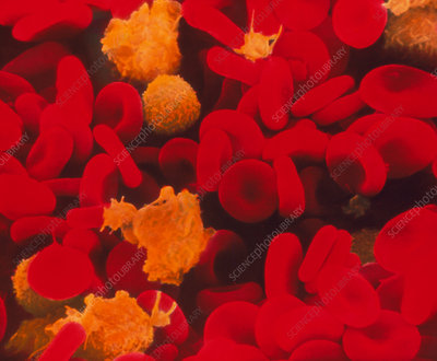 Red & white blood cells