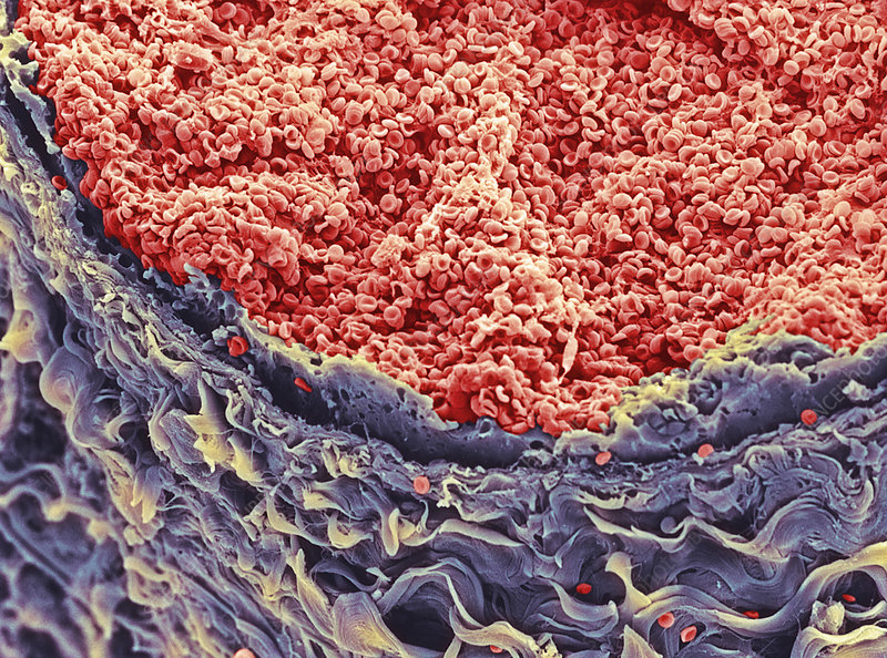Red blood cells in blood vessel