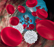 Red and white blood cells