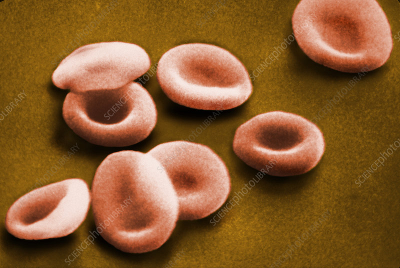 SEM of Red Blood Cells