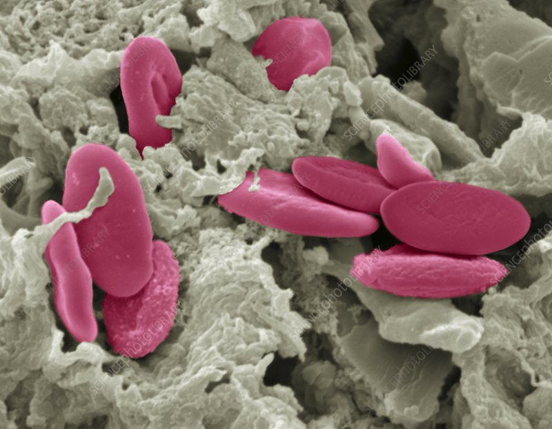 Bird red blood cells, SEM