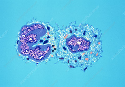 TEM of killer T-lymphocyte attached to target cell