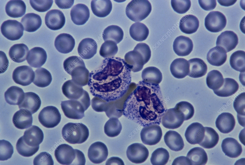 Light micrograph showing two neutrophils
