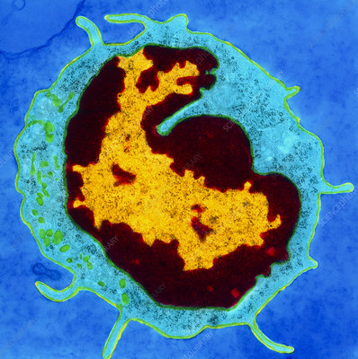Colour TEM of B-lymphocyte blood cell