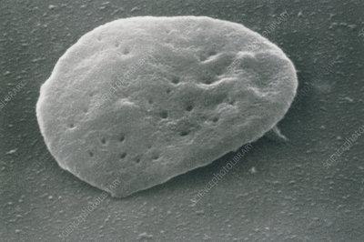 Sem of unactivated blood platelet