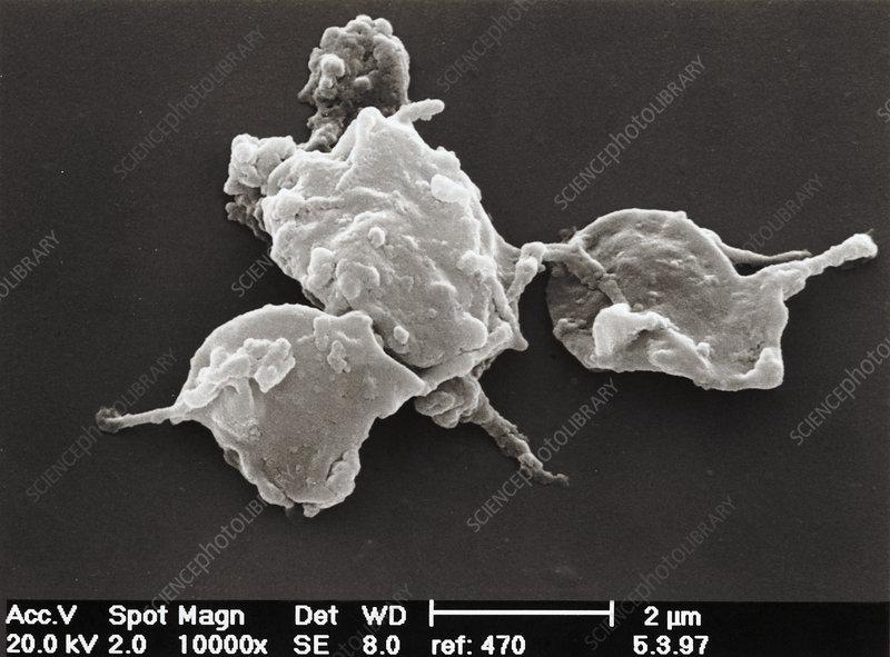 Platelets, SEM