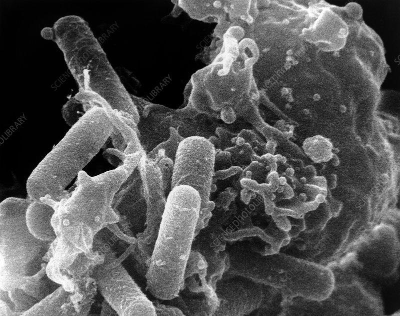 SEM of immune system phagocyte ingesting bacteria