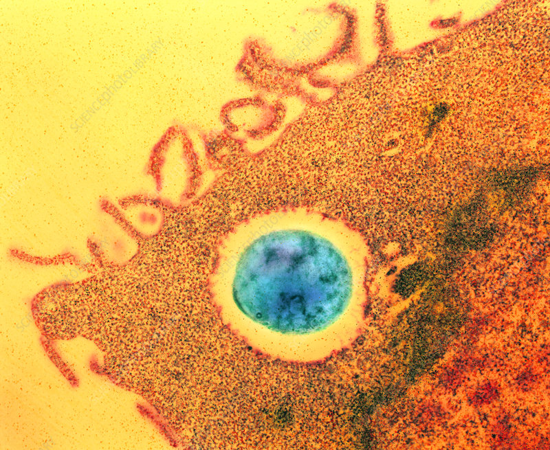 Coloured TEM of macrophage eating bacterium