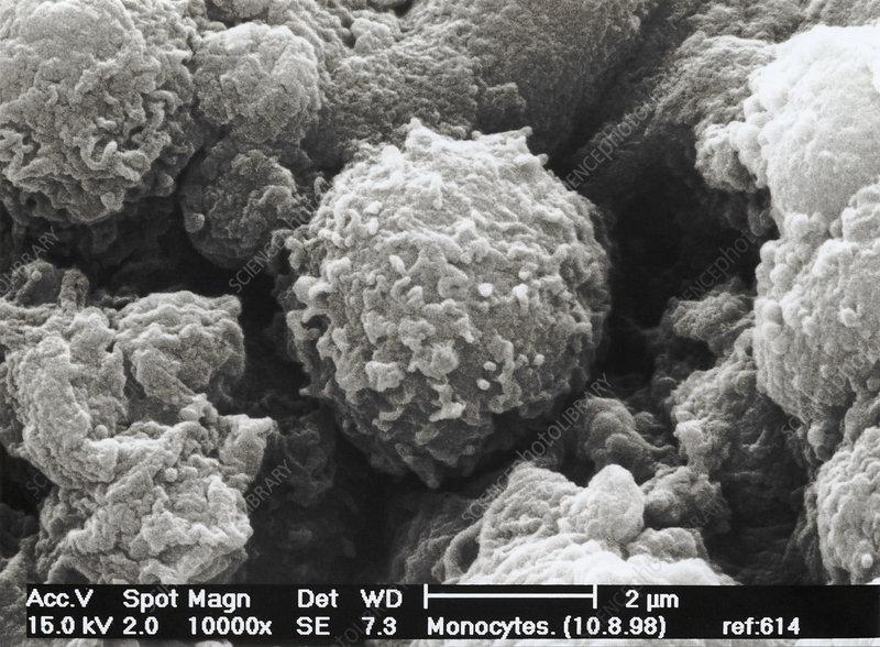 Monocyte white blood cells, SEM