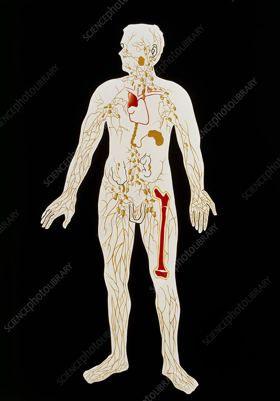 Artwork illustrating human lymphatic sytem