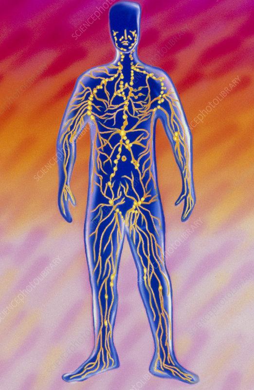 Artwork of human lymph system & associated organs
