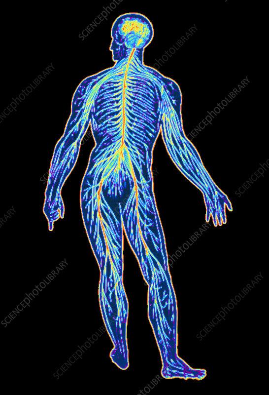 Illustration of human nervous system - Stock Image P320/0007 ...