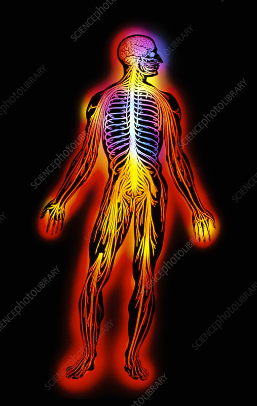 Illustration of the human nervous system - Stock Image P320/0012 ...