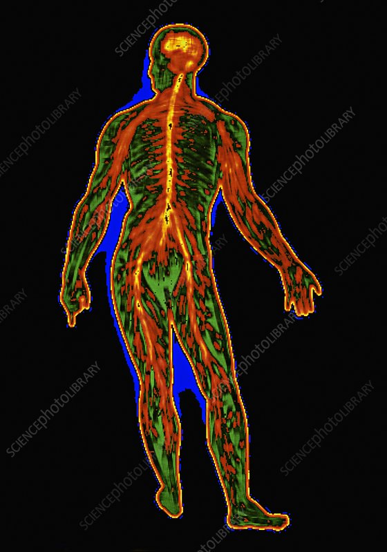 Digitised illustration of the human nervous system