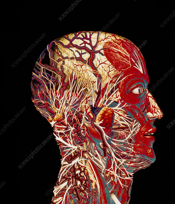 Colour artwork of nerve & blood supply of head