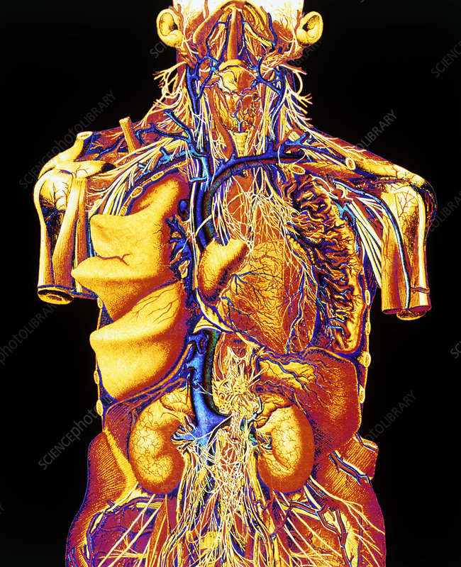 Colour artwork of abdominal & thoracic nerves