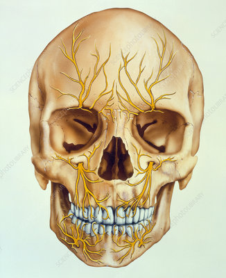 Artwork of the human skull showing facial nerves