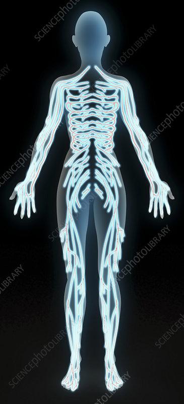 Somatic peripheral nervous system