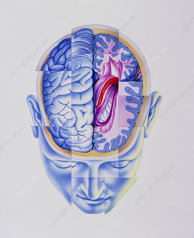 Art of abstract head showing brain limbic system
