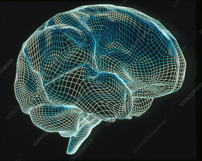 Computer artwork of a wire-frame model of a brain