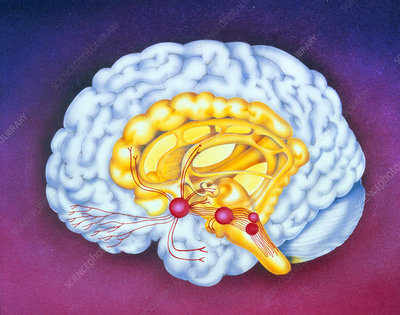 Artwork of brain: opiate drug receptor sites