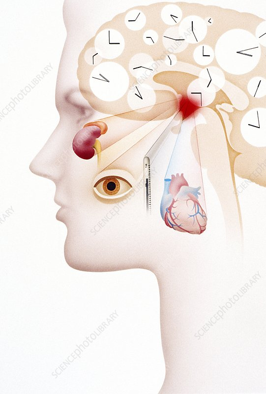 Artwork of hypothalamus and human biological clock