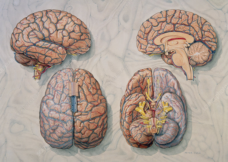Illustration of four views of the human brain