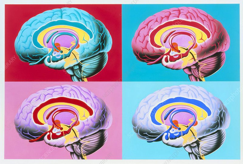 Artworks showing the limbic system of the brain