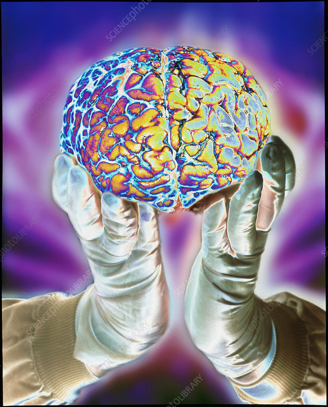 loved hands holding a human brain in front view