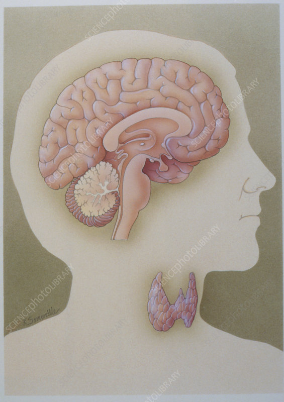 Art of the anatomy of the brain and thyroid gland