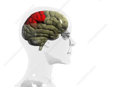 Human brain, parietal lobe - Stock Image - P330/0367 ...