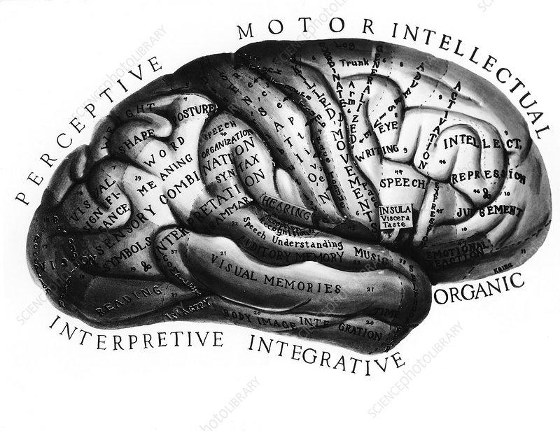 human brain diagram. Human+rain+diagram+